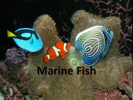 Marine Fish. Intro to Fish Fish – The most common and diverse vertebrates in the ocean – Evolved around 500 million years ago – 20,000 different species.