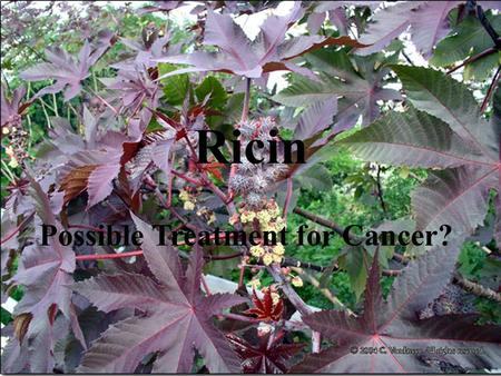 Ricin Possible Treatment for Cancer?. A poison found naturally in beans of caster bean plant, Ricinus communis – Family Euphorbiaceae – Native to tropical.