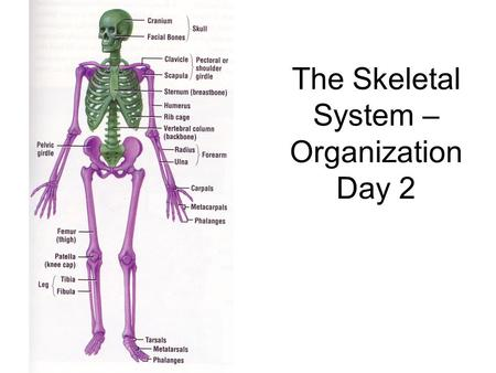 The Skeletal System – Organization Day 2. Axial Skeleton Consists of the 80 bones in the head and trunk of the human body The purpose of the axial skeleton.