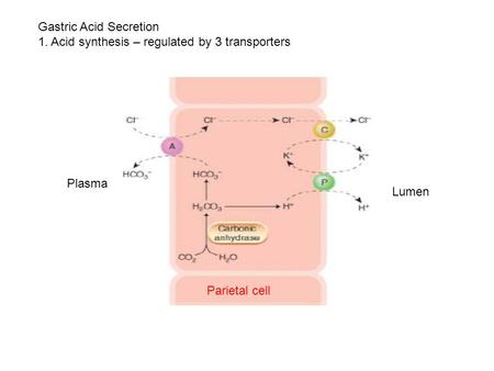 Gastric Acid Secretion 1. Acid synthesis – regulated by 3 transporters Lumen Plasma Parietal cell.