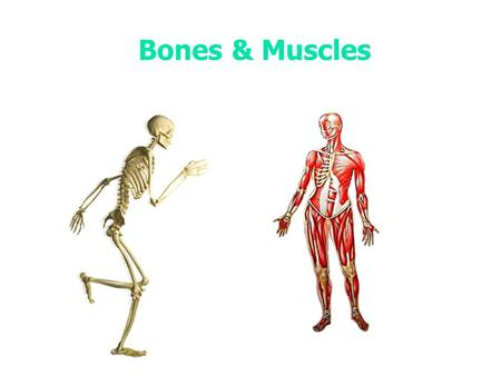 Bones & Muscles. How many bones does the human skeleton contain?