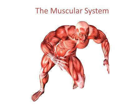 The Muscular System. Functions of the Muscular System Movement -what examples can you think of? Maintaining posture and body position Stabilizing joints.