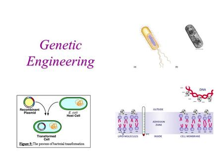 Genetic Engineering What is Genetic Engineering? Genetic Engineering = inserting a foreign gene of interest into a host to transcribe and translate a.