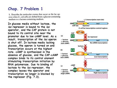 Chap. 7 Problem 1 In glucose media without lactose, the lac repressor is bound to the lac operator, and the CAP protein is not bound to its control site.