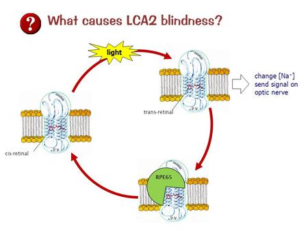 What causes LCA2 blindness? trans-retinal cis-retinal light change [Na + ] send signal on optic nerve RPE65.