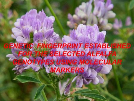 GENETIC FINGERPRINT ESTABLISHED FOR THE SELECTED ALFALFA GENOTYPES USING MOLECULAR MARKERS.