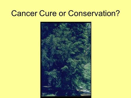 Cancer Cure or Conservation?. Pacific Yew Taxus brevifolia Coniferous tree Shade tolerant In undisturbed stands is usually found as an understory tree.