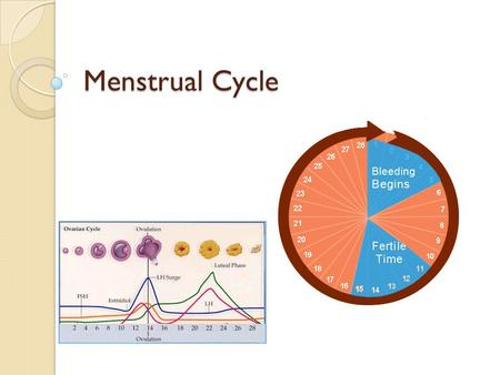 Menstrual Cycle. The Cycle Strongly linked to the endocrine system (hormone based) Typically takes 28 days to cycle through 4 phases ◦ Follicular ◦ Ovulation.