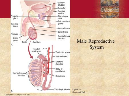 Copyright © 2006 by Elsevier, Inc. Male Reproductive System Figure 80-1 Guyton & Hall.