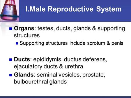 I.Male Reproductive System Organs: testes, ducts, glands & supporting structures Supporting structures include scrotum & penis Ducts: epididymis, ductus.