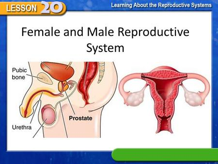 Female and Male Reproductive System The Female Reproductive System The female reproductive system. Produce eggs or Ovum Transport the egg for fertilization.
