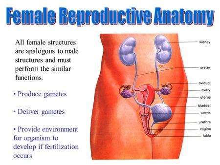 All female structures are analogous to male structures and must perform the similar functions. Produce gametes Deliver gametes Provide environment for.
