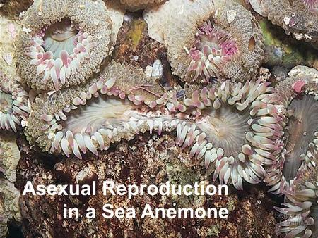 Asexual Reproduction in a Sea Anemone. Overview: Doubling Up for Sexual Reproduction The two earthworms in this picture are mating Each worm produces.