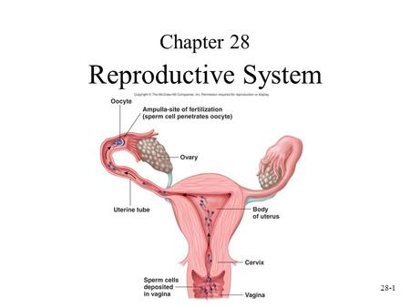 28-1 Chapter 28 Reproductive System. 28-2 Sperm Cell Development Spermatozoa produced in seminiferous tubules. At puberty, GnRH (Gonadotropin-releasing.