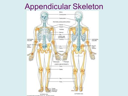 Appendicular Skeleton. Contains 126 bones between 4 groups: –Pectoral girdle (4) –Arms (60) –Legs (60) –Pelvic girdle (2)
