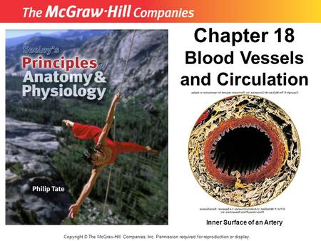 Chapter 18 Blood Vessels and Circulation Inner Surface of an Artery
