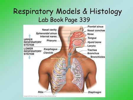Respiratory Models & Histology Lab Book Page 339.