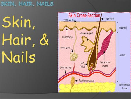 Skin, Hair, & Nails. Skin: The skin, which makes up about 15% of your total body weight, is the largest organ of the body. Many specialized structures.