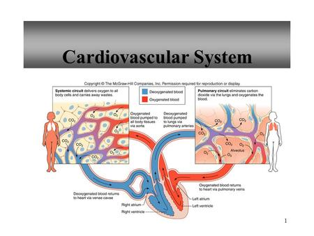 1 Cardiovascular System. 2 Size of Heart Average Size of Heart 14 cm long 9 cm wide.