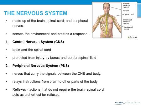 THE NERVOUS SYSTEM made up of the brain, spinal cord, and peripheral nerves. senses the environment and creates a response. 1.Central Nervous System (CNS)