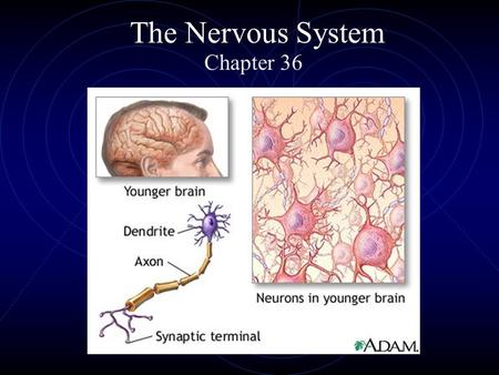 The Nervous System Chapter 36. Basic Structure Neurons Composed of 3 parts Cell body Dendrites Axon.