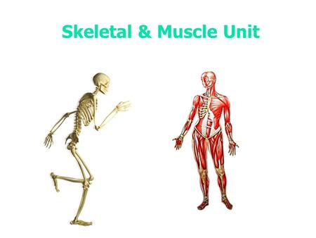 Skeletal & Muscle Unit. Notes How many bones does the human skeleton contain?