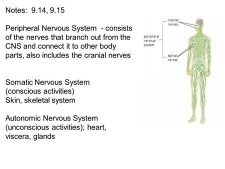 Somatic Nervous System (conscious activities) Skin, skeletal system