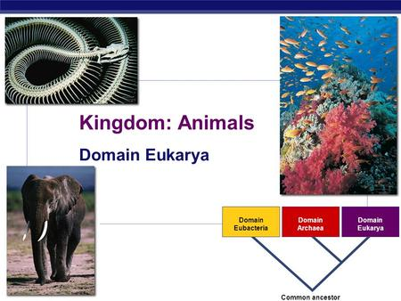 AP Biology 2007-2008 Domain Eubacteria Domain Archaea Domain Eukarya Common ancestor Kingdom: Animals Domain Eukarya.
