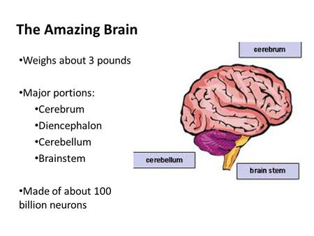The Amazing Brain Weighs about 3 pounds Major portions: Cerebrum
