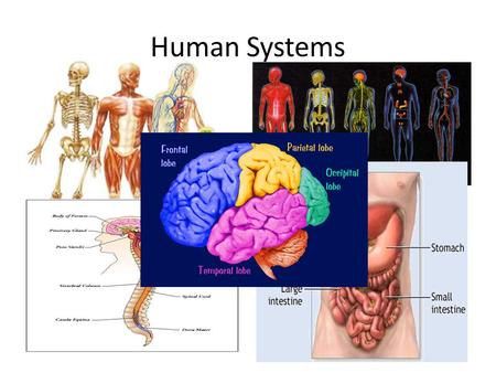 Human Systems. Create Flow Chart Graphic Organizer.
