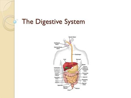 The Digestive System. Your digestive system What is Digestion? ◦ Put it into words… The mechanical and chemical breaking down of food into smaller parts.