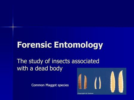 Forensic Entomology The study of insects associated with a dead body Common Maggot species.
