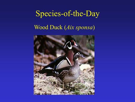 Species-of-the-Day Wood Duck (Aix sponsa). Brink of Extinction By early 1900's, culminative effects of: 1) wetland drainage (ag. expansion) 2) deforestation.