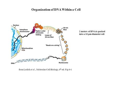 Organization of DNA Within a Cell from Lodish et al., Molecular Cell Biology, 6 th ed. Fig 6-1 2 meters of DNA is packed into a 10  m diameter cell.