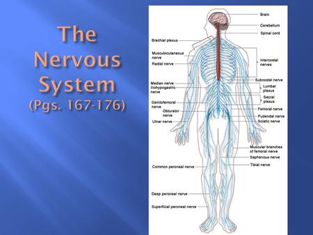 Organs of the nervous system are divided into Central Nervous System (CNS) Central Nervous System (CNS) Peripheral Nervous System (PNS) Peripheral Nervous.