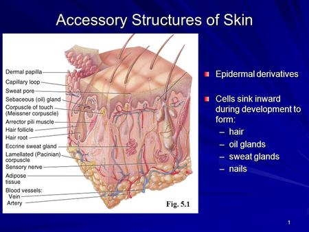 Accessory Structures of Skin
