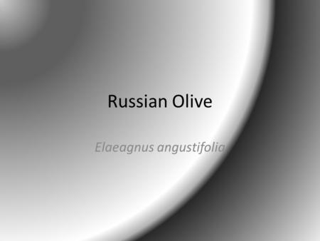 Russian Olive Elaeagnus angustifolia. Classification Kingdom Plantae – Plants Subkingdom Tracheobionta – Vascular plants Superdivision Spermatophyta –