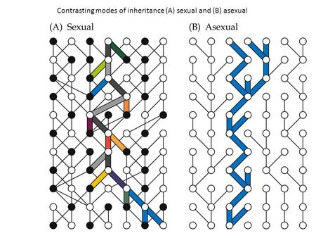 Contrasting modes of inheritance (A) sexual and (B) asexual.