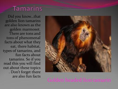 Did you know…that golden lion tamarins are also known as the golden marmoset. There are tons and tons of phenomenal facts about what they eat, there habitat,