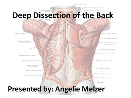 Presentor: Angelie MelzerPresentor: Angelie Melzer Deep Dissection of the Back Presented by: Angelie Melzer.