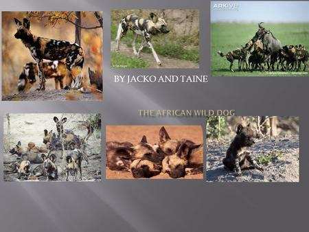 BY JACKO AND TAINE. THE AFRICAN WILD DOG IS THE SECOND BIGEST CANINE. The scientific name for the African wild dog is cape hunter. It eats deer,zebras,