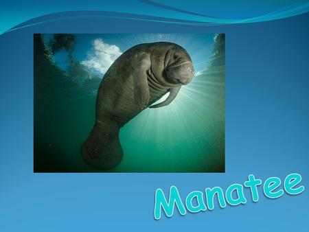 Scientific name: Trichechus manatus Kingdom: Animalia Phylum: Chordata Class: Mammalia Order: Sirenia.