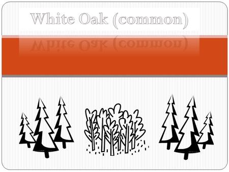 White Oak (common).
