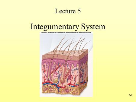 5-1 Lecture 5 Integumentary System. 5-2 Integumentary System Consists of: 1.Skin (Epidermis & Dermis) 2.Accessory structures Hair Nails Glands Functions.