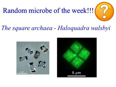 Random microbe of the week!!! The square archaea - Haloquadra walsbyi Random microbe of the week!!!
