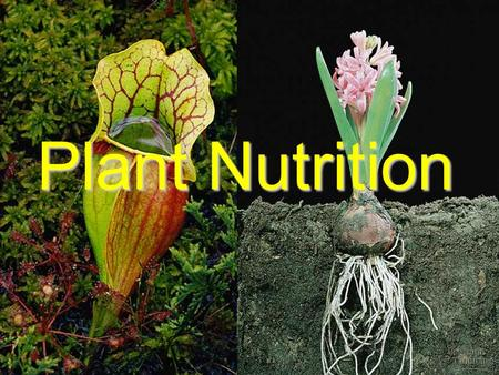 Plant Nutrition. The uptake of nutrients occurs at both the roots and the leaves. Roots, through mycorrhizae and root hairs, absorb water and minerals.