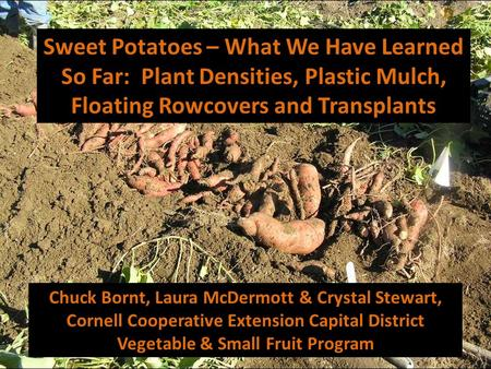 Sweet Potatoes – What We Have Learned So Far: Plant Densities, Plastic Mulch, Floating Rowcovers and Transplants Chuck Bornt, Laura McDermott & Crystal.