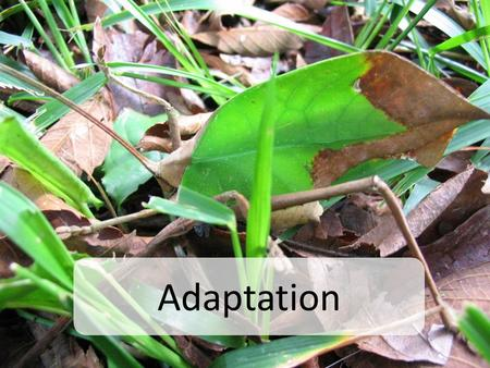 Adaptation. Evolution Evolution involves two interrelated phenomena – Adaptation: modifications of a species phenotype to help them succeed in their environment.