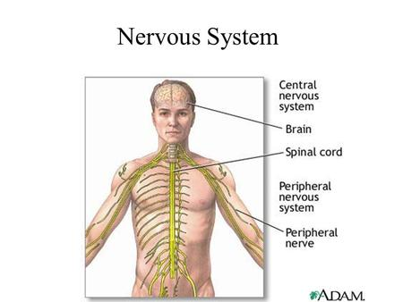Nervous System. Major Function To control all activities of the body.