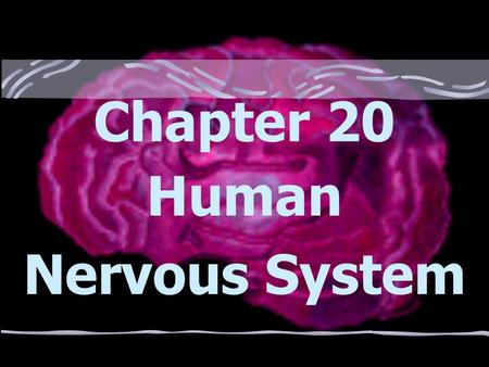 Chapter 20 Human Nervous System Regulation Is achieved by both the nervous system and the endocrine system in humans *Both systems secrete chemicals.